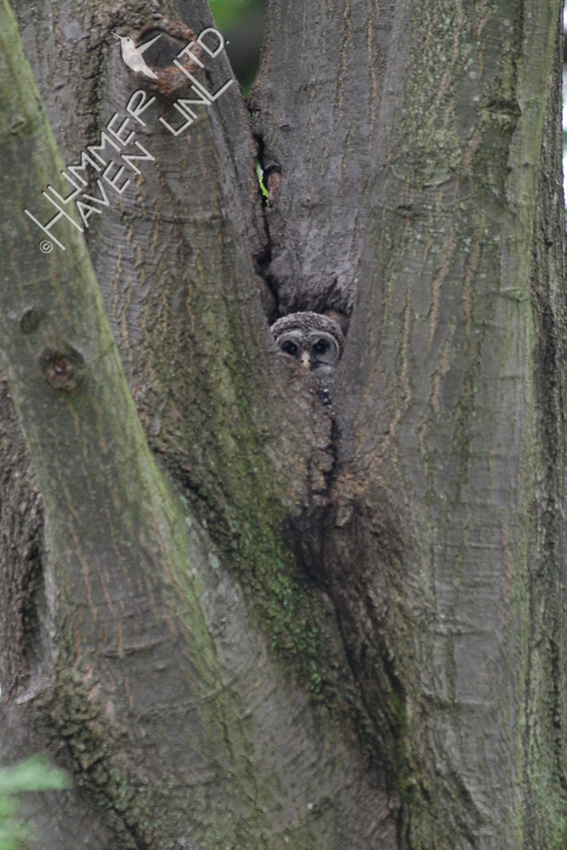 5-16-10 Barred Owlet