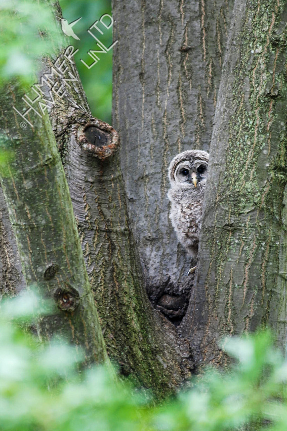 5-17-10 Barred Owlet