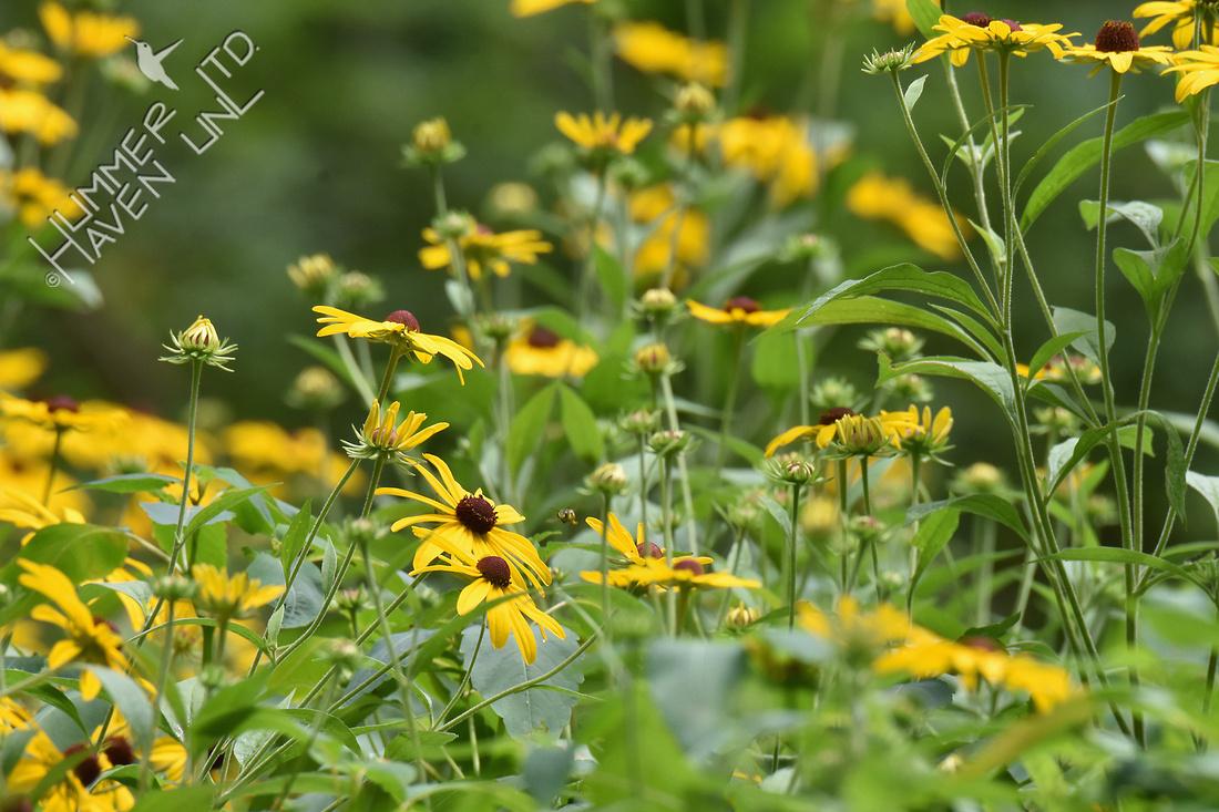Sweet Coneflower (Rudbeckia submentosum) 7-28-18