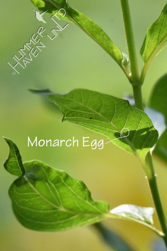 Egg on leaf Marsh Milkweed (Asclepias tuberosa) 8-5-18