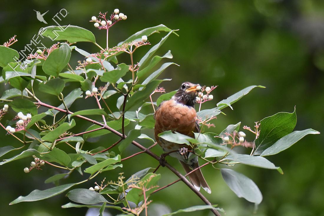 American Robin eating Rough-leaf Dogwood berries (Cornus drummondii) 8-8-18