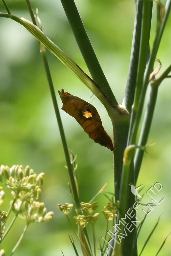 Empty E. Black Swallowtail chrysalis 8-8-18