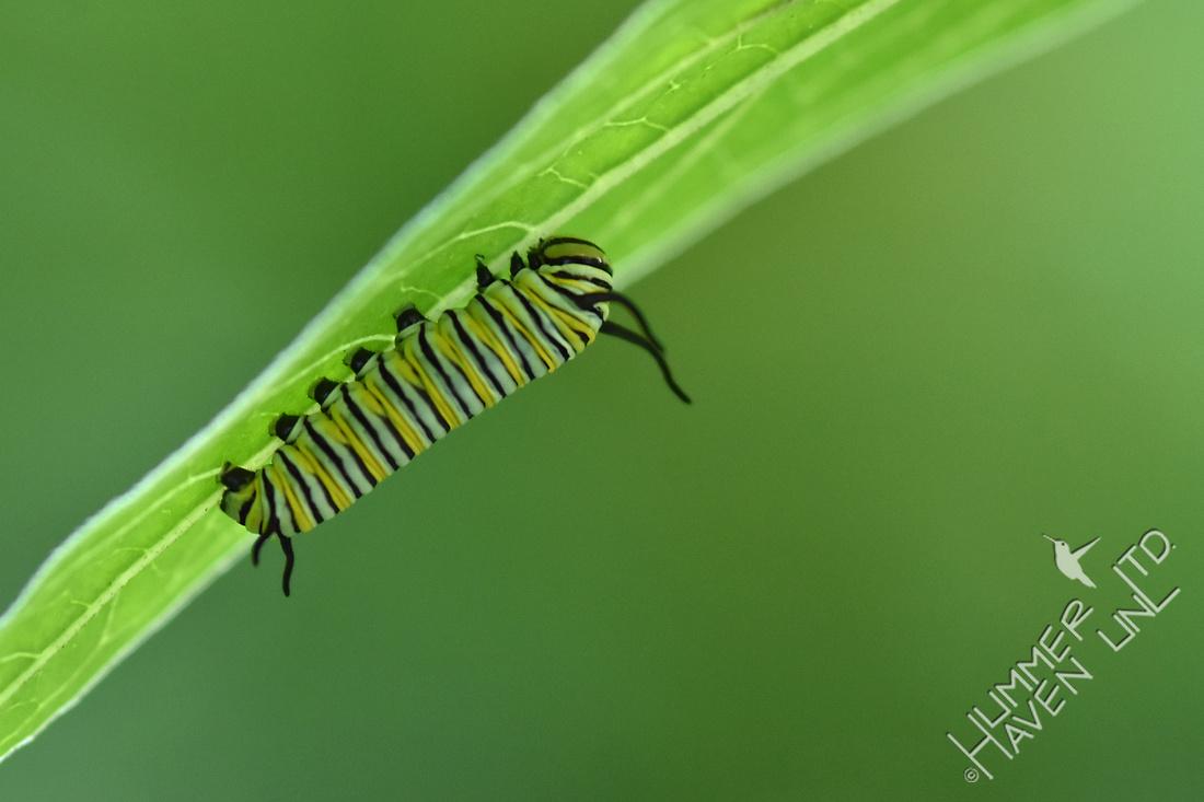 Tiny Monarch caterpillar 8-9-18