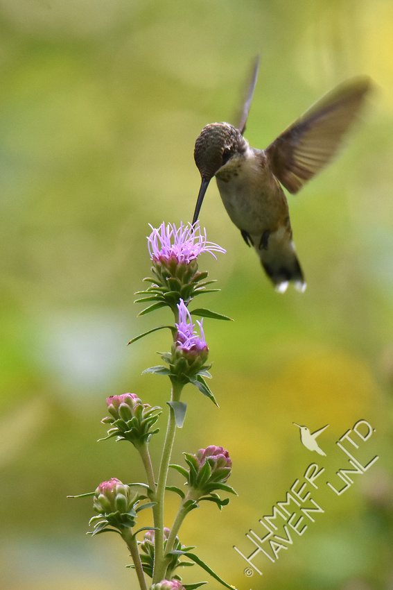 Ruby-throated Hummingbird at Eastern Blazingstar (Liatris scariosa) 8-14-18