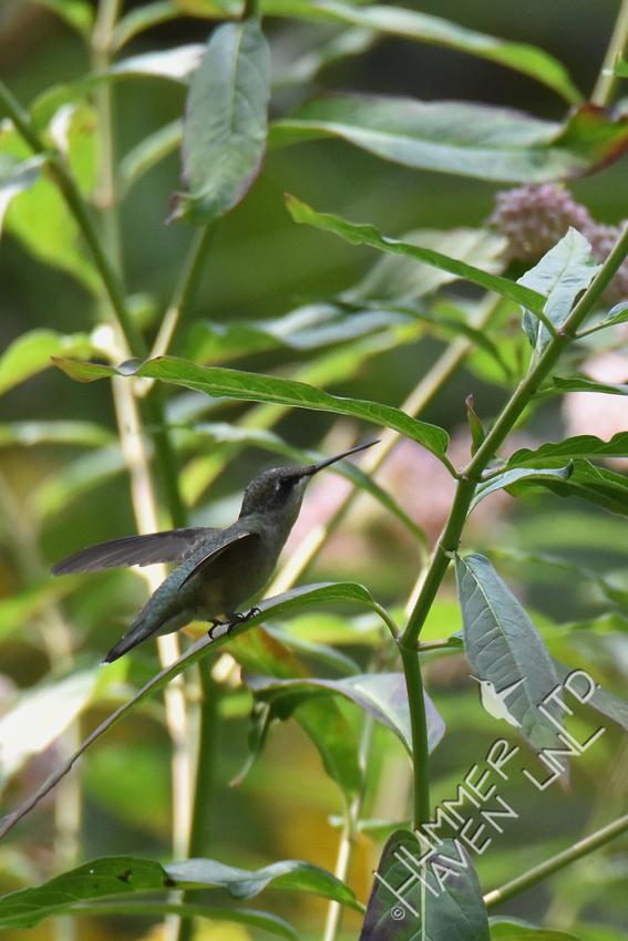 Ruby-throated Hummingbird rests on Marsh Milkweed (Asclepias incarnata) 8-14-18