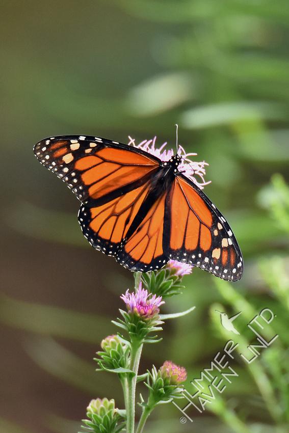 Monarch on Eastern Blazingstar (Liatris scariosa) 8-14-18