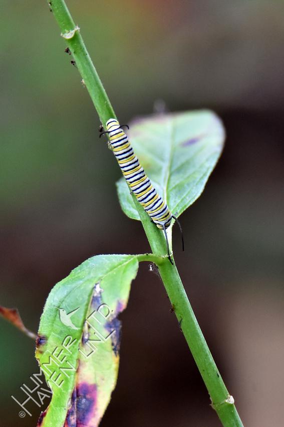 Monarch caterpillar on Marsh Milkweed (Asclepias incarnata) 8-14-18