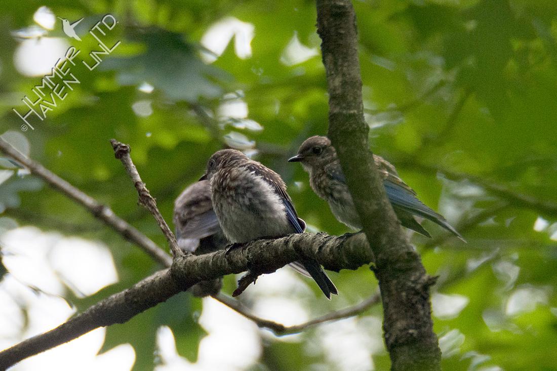 Eastern Bluebird juveniles  8-14-18