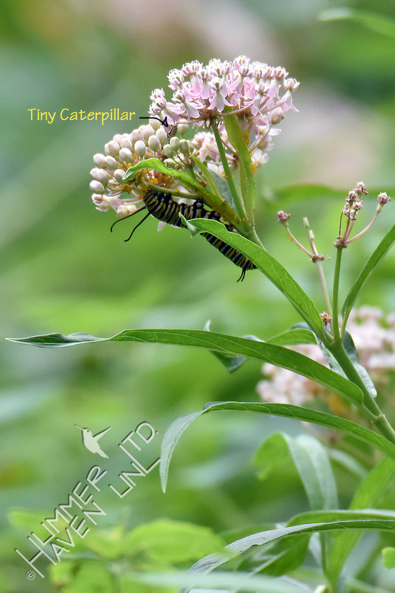 Two Monarch caterpillars on Marsh Milkweed (Asclepias incarnata) 8-14-18