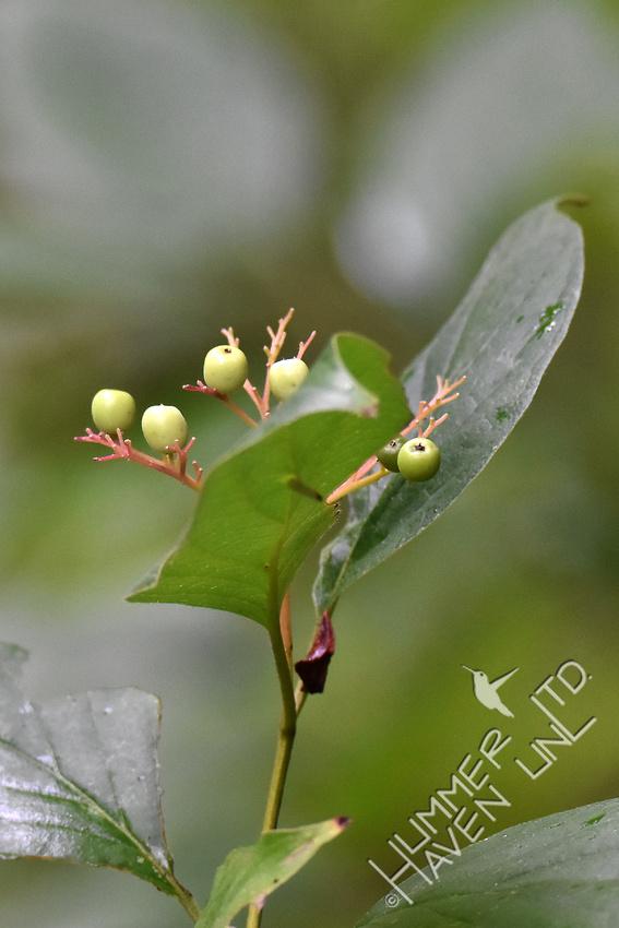 Remaining un-ripened Rough-leaf dogwood berries (Cornus drummondii) 8-15-18