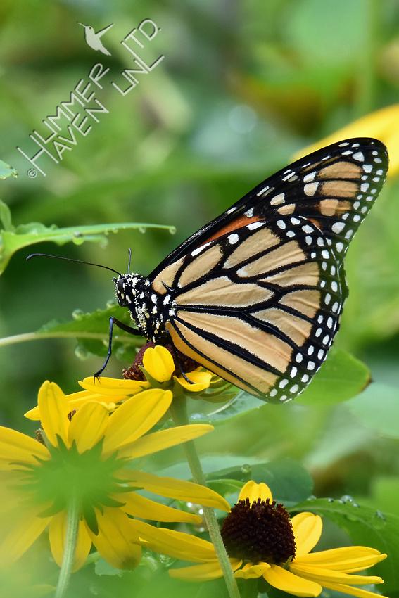 Monarch resting on Sweet Coneflower (Rudbeckia submentosum) 8-16-18