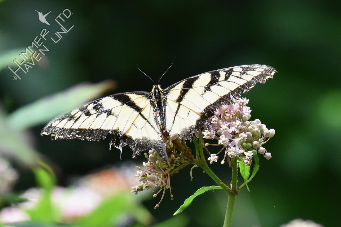 Worn Tiger Swallowtail on Marsh Milkweed (Asclepias incarnata) 8-16-18
