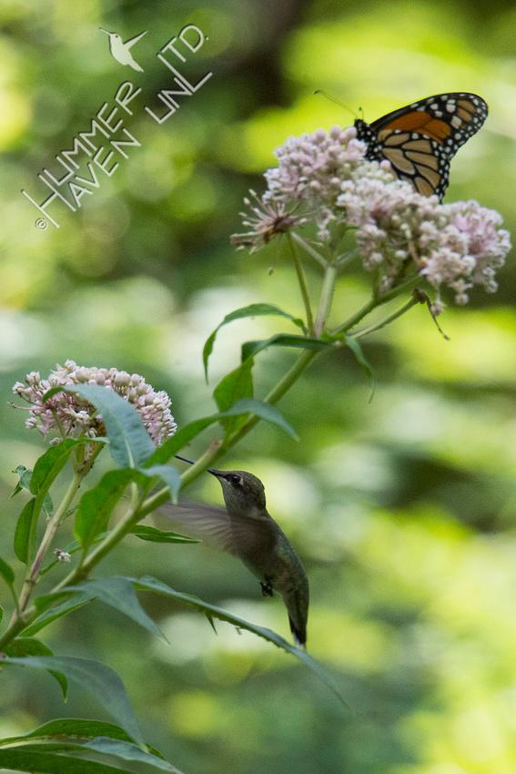 Ruby-throated Hummingbird and Monarch on Marsh Milkweed (Asclepias incarnata) 8-16-18
