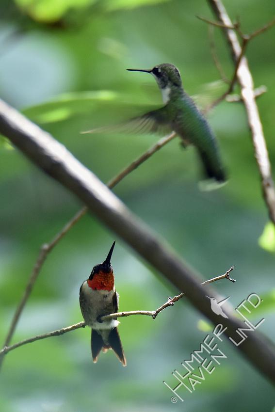 Ruby-throated Hummingbirds 8-23-18