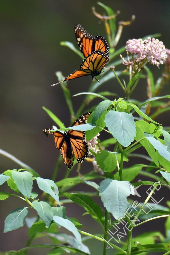 Monarchs in dispute 8-18-18