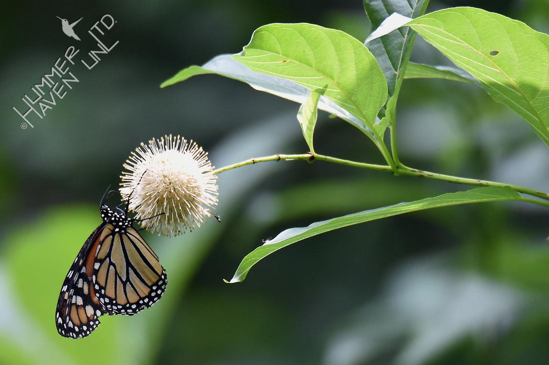 Monarch on Buttonbush (Cephalanthus occidentalis) 8-18-18