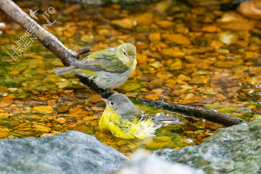 8-31-21 Tennessee and Magnolia Warblers