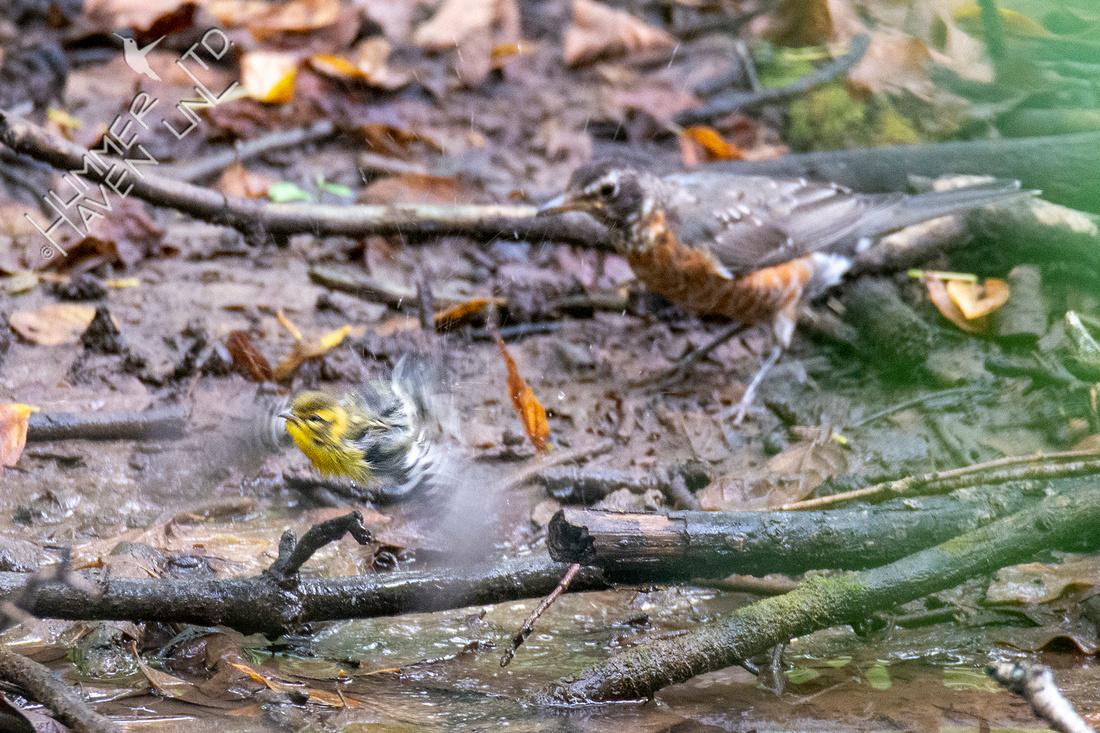 8-31-21 Blackburnian Warbler and American Robin