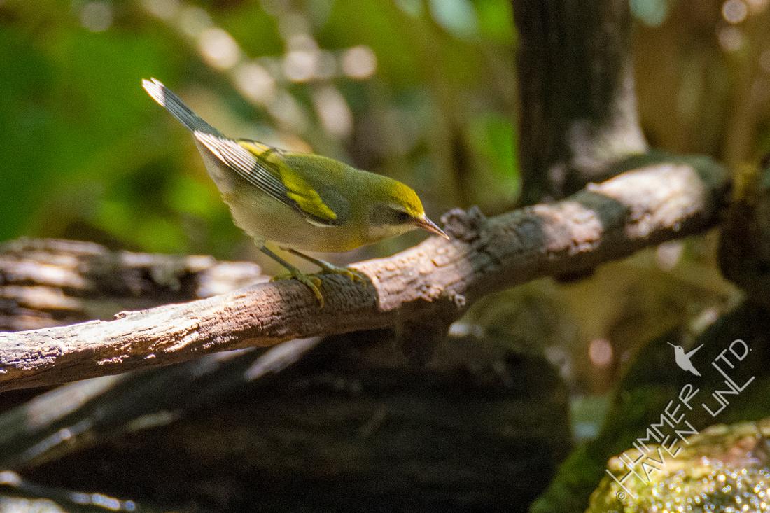 8-31-21 Golden-winged Warbler