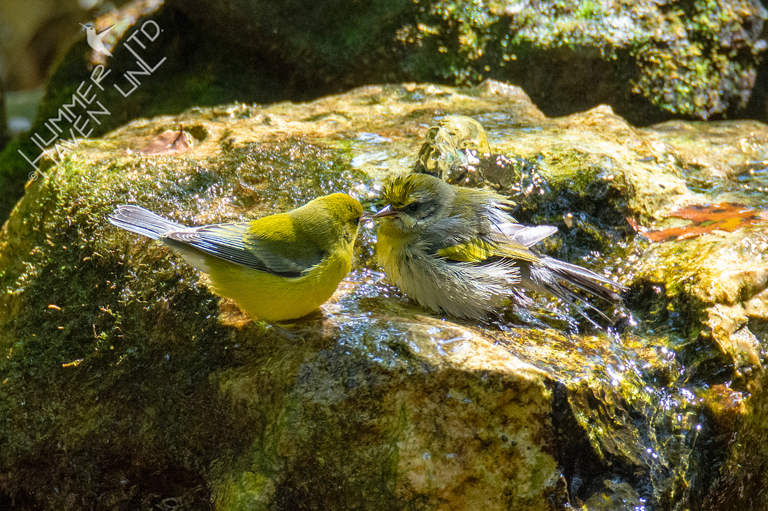 8-31-21 Blue-winged and Golden-winged Warblers