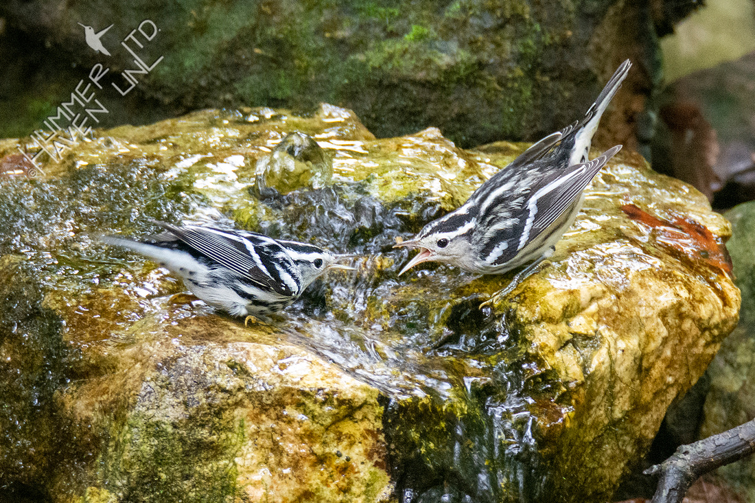 9-1-21 Black-and-white Warblers