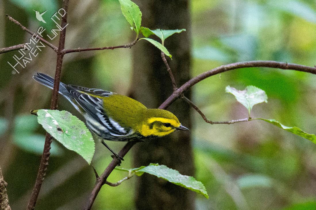 9-1-21 Black-throated Green Warbler