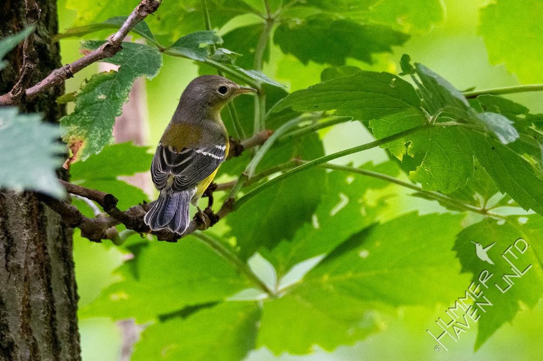 9-1-21 Magnolia Warbler