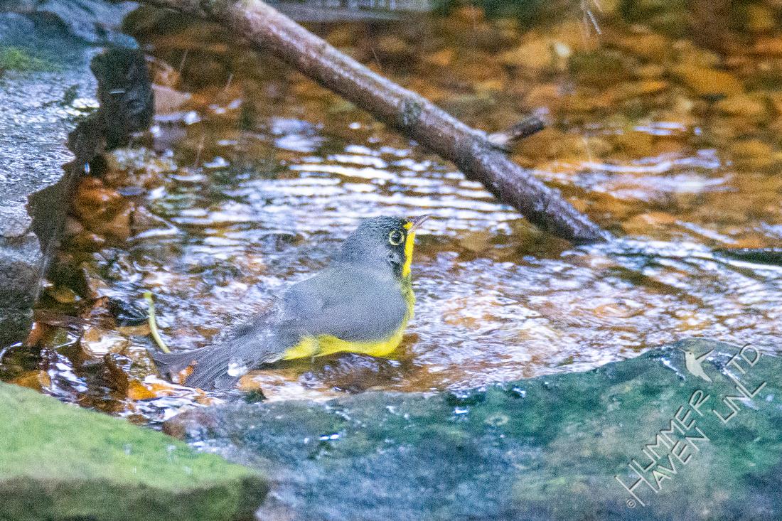 8-31-21 Canada Warbler