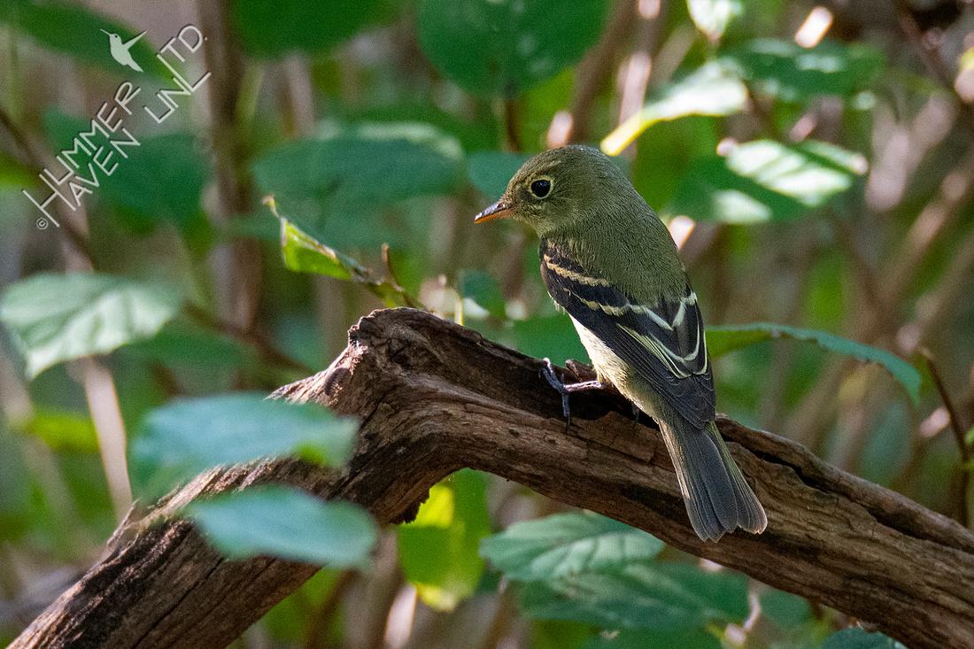 9-8-21 Yellow-bellied Flycatcher