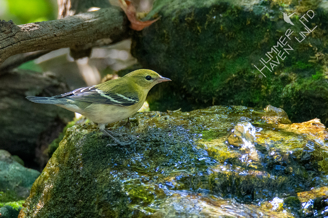 9-8-21 Bay-breasted Warbler