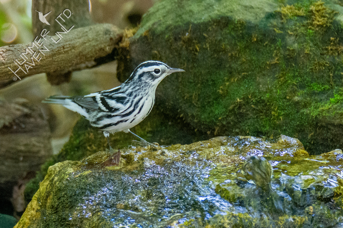 9-9-21 Black-and-white Warbler