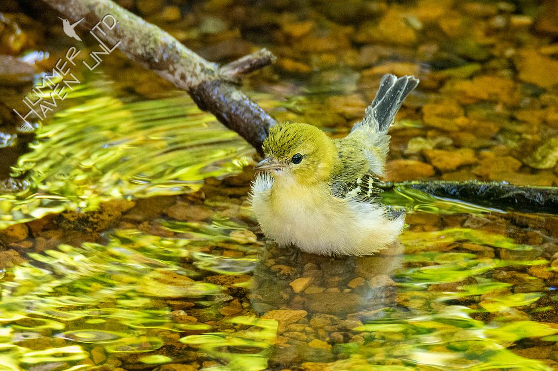 9-9-21 Bay-breasted Warbler