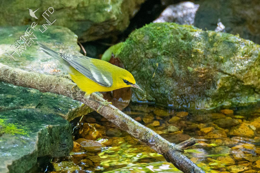 9-9-21 Blue-winged Warbler