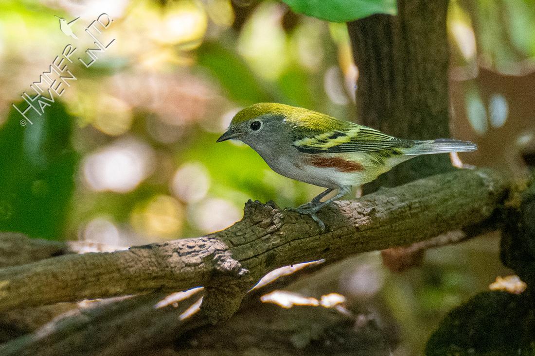 9-9-21 Chestnut-sided Warbler