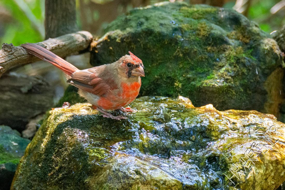 9-10-21 Northern Cardinal