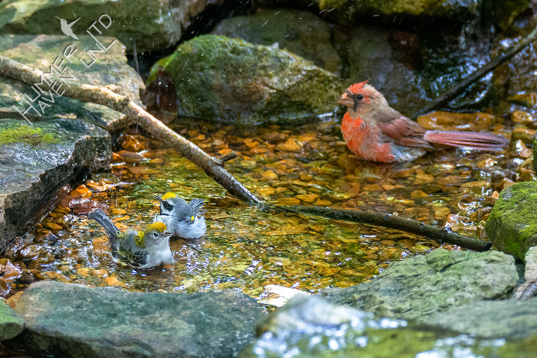 9-10-21 Chestnut-sided and Golden-winged Warblers with Northern Cardinal