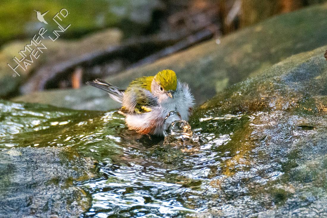 9-11-21 Chestnut-sided Warbler