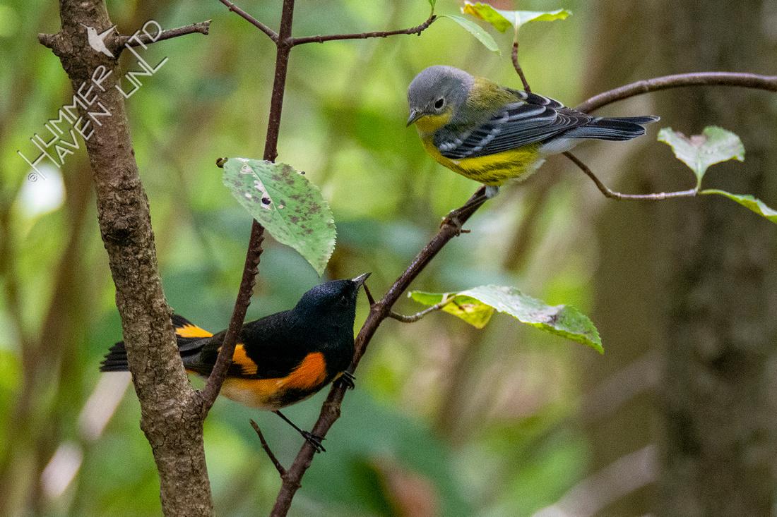 9-15-21 American Redstart and Magnolia Warbler