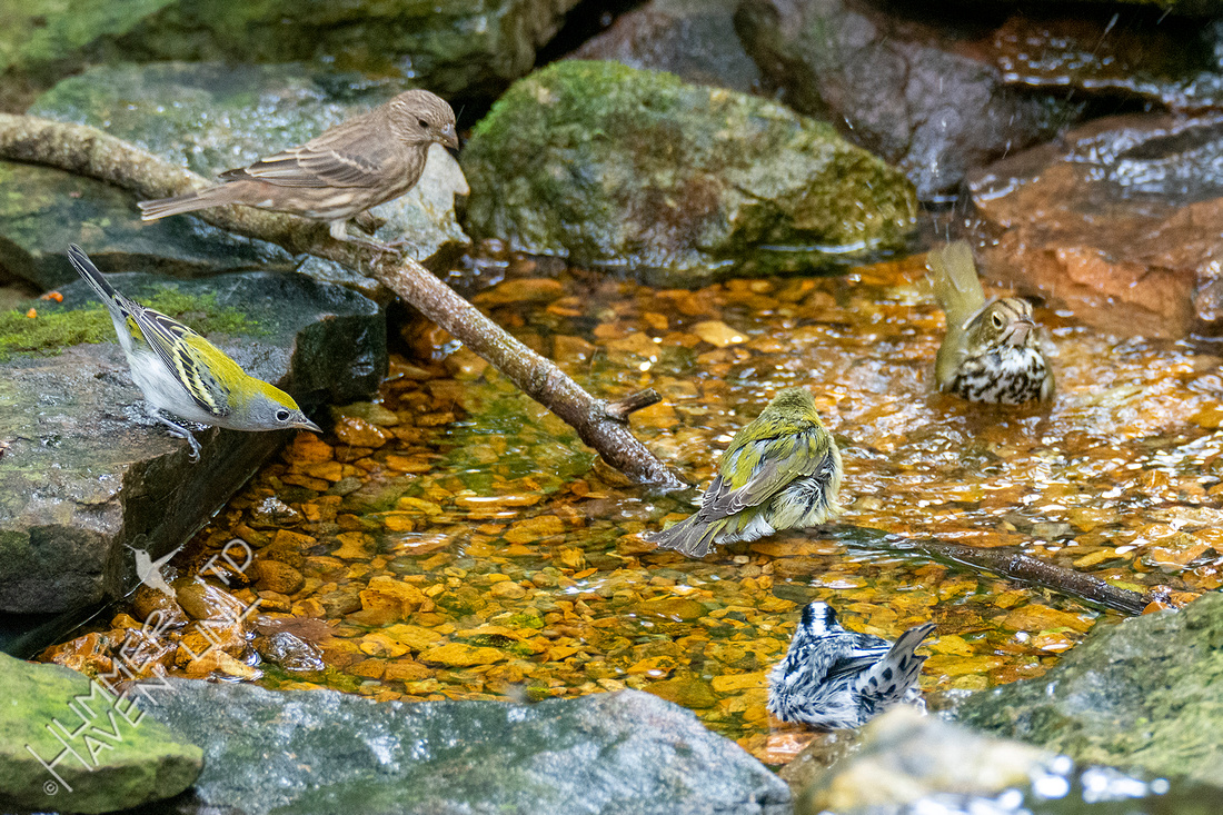 9-19-21 Chestnut-sided, House Finch, Ovenbird, Tennessee and Black-and-white Warblers