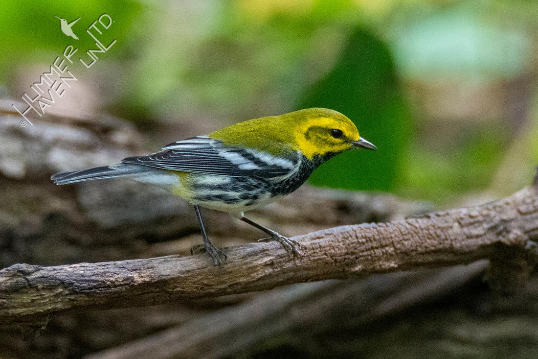 9-19-21 Black-throated Green Warbler