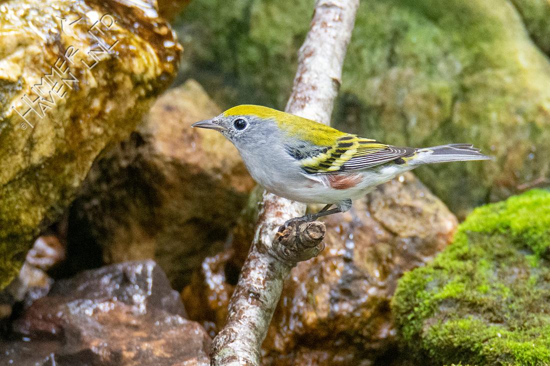 9-19-21 Chestnut-sided Warbler
