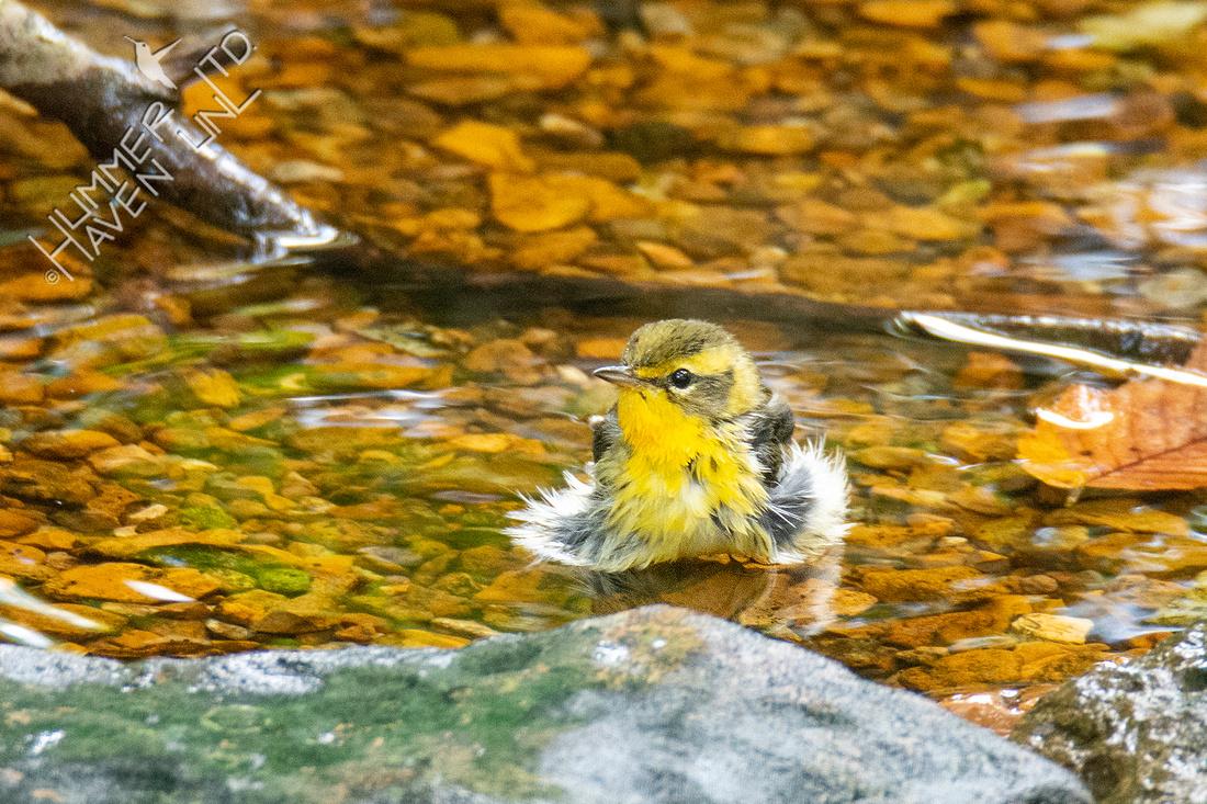 9-20-21 Blackburnian Warbler