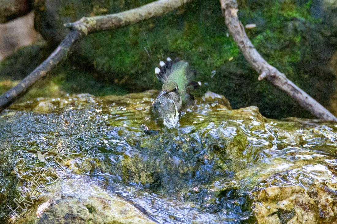 9-28-21 Ruby-throated Hummingbird