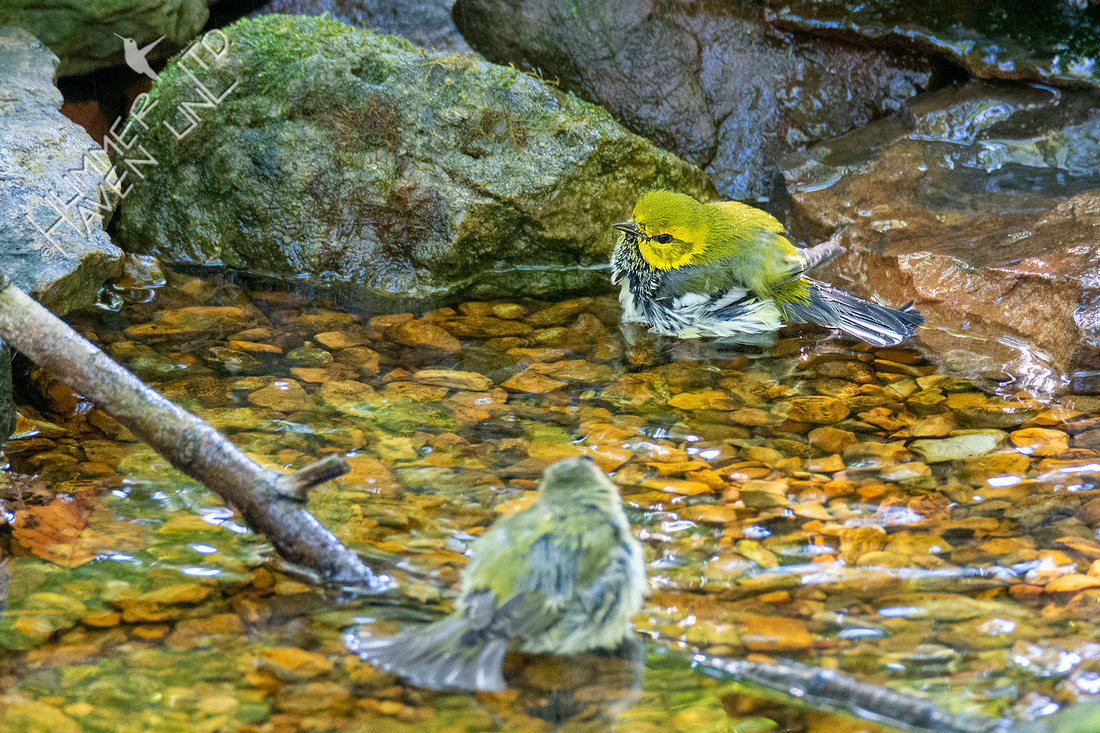 9-28-21 Black-throated Green and Tennessee Warbler