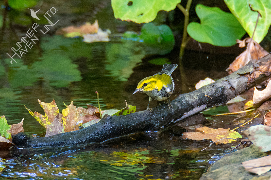 9-28-21 Black-throated Green Warbler