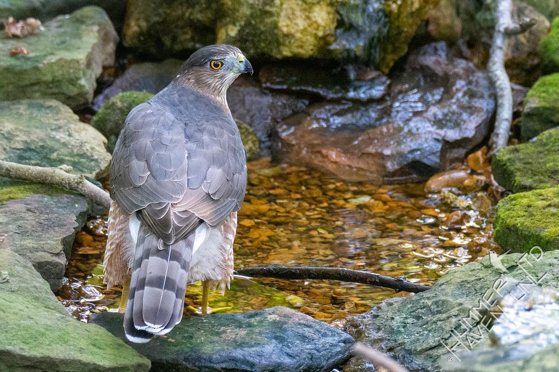 9-28-21 Coooper's Hawk