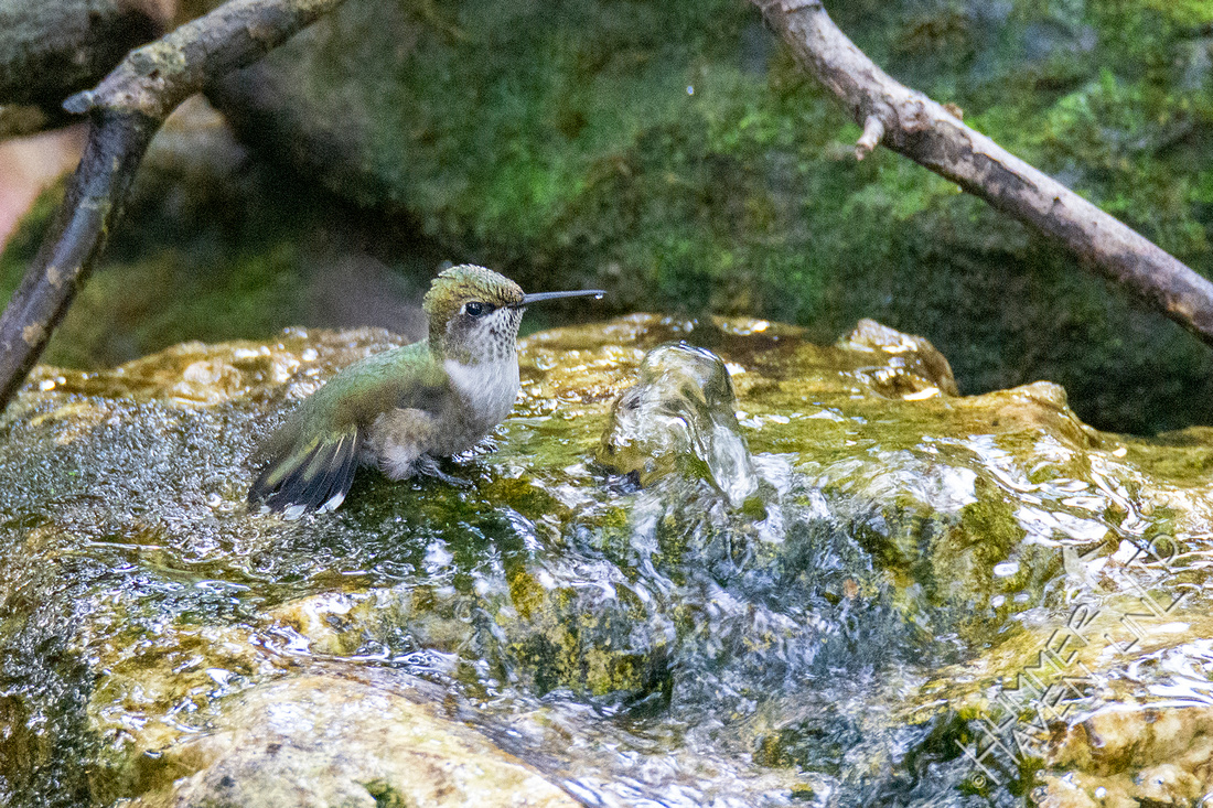 9-30-21 Ruby-throated Hummingbird