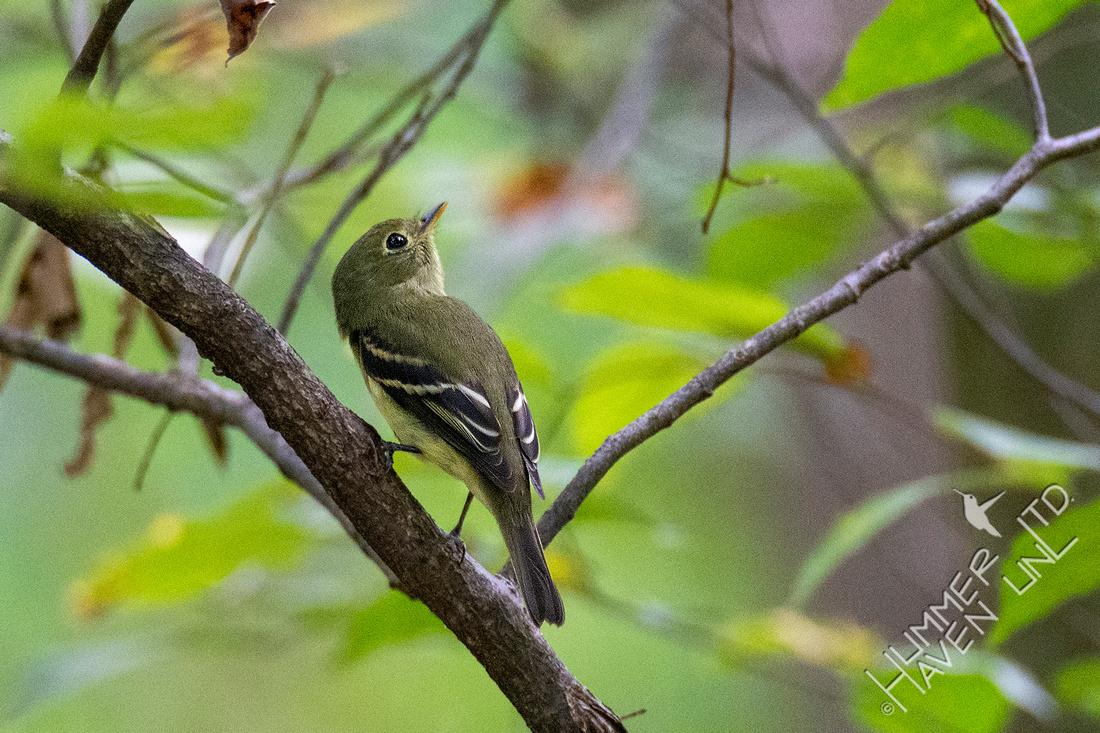 9-30-21 Yellow-bellied Flycatcher