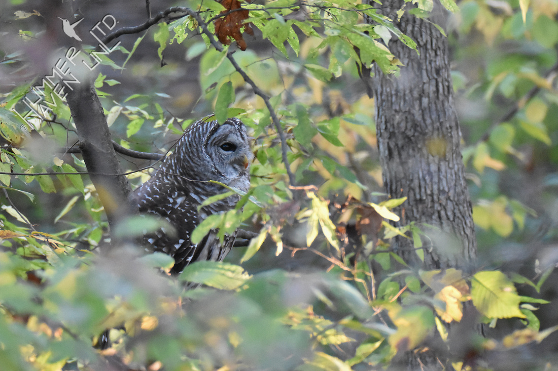 Barred Owl digests its food for 45 minutes 11-4-16