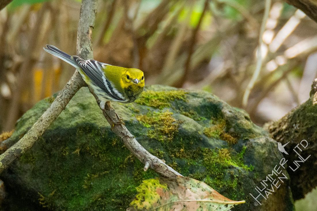 10-3-21 Black-throated Green Warbler